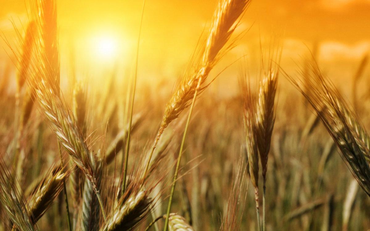 Интересные факты о пшенице и плевелах